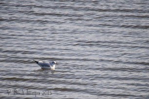 Black-headed gull riding the waves