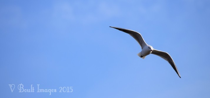 Gull on blue
