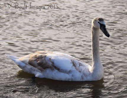 Yound mute swan