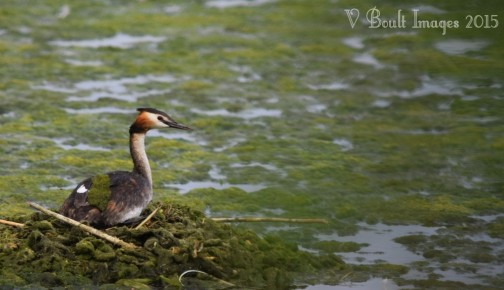 Great-crested grebe incubating