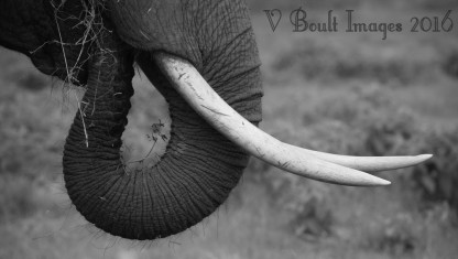 Only elephants need ivory