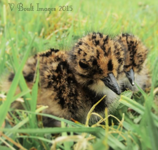 Lapwing chicks