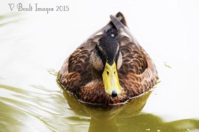Muddled duck